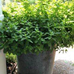 Prieskonių puokštė vazone (su pasirinktu vazonu)